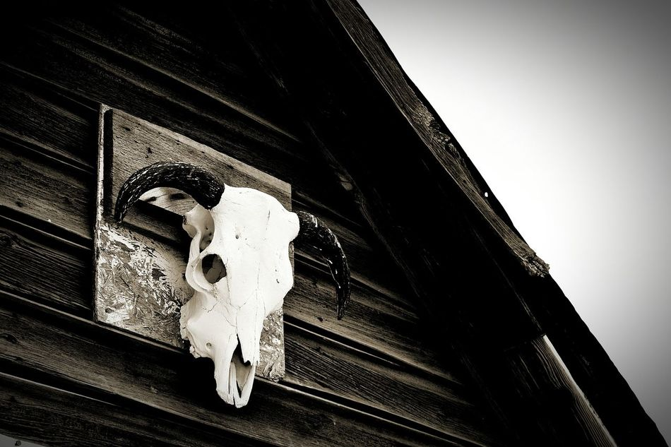hanging out Skull Cow Skull Horns Black And White Black And White Photography Out West Check This Out Outdoors Outdoors Photography Old West  Wall Decoration Eye4photography  Eyeem Black And White