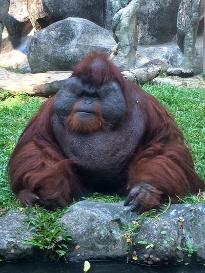 Animal Themes Animal Wildlife Animals In Captivity Animals In The Wild Ape Close-up Day Grass Mammal Monkey Nature No People One Animal Orangutan Outdoors Primate Rock - Object Zoo