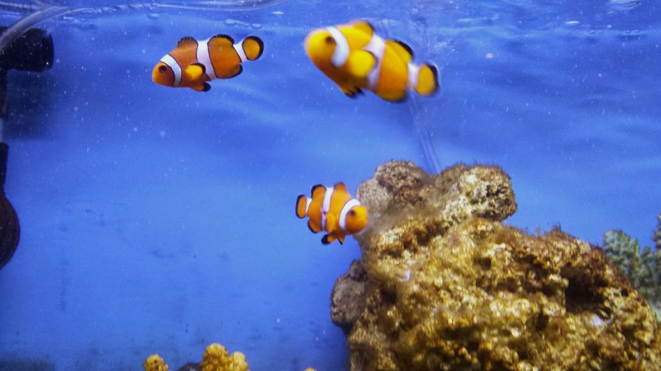 Little Nemos 🐠🐠 Water Animal Themes Underwater Sea Life Animals In The Wild No People Sea Clown Fish Nature Beauty In Nature Close-up Aquarium UnderSea Day Southsea Common Aquarium Life Portsmouthphotographer South Of England Portsmouth United Kingdom