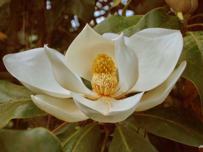 Magnolia Southern Magnolia Magnolia Grandiflora Bull Bay Magnolia Flower In Bloom Flowers,Plants & Garden Nature Photography Enjoying Nature