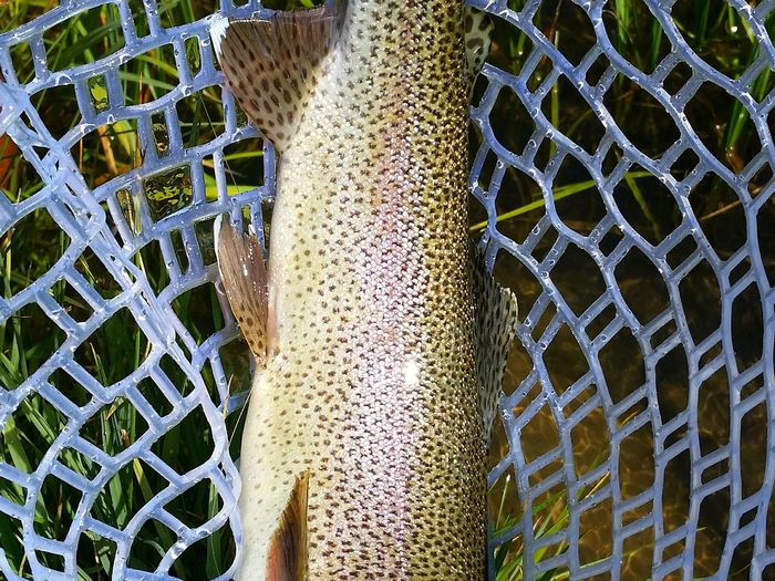 Cropped fish in a net Catch And Release Outdoors Water Fly Fishing Madison River Fishing Spot Travel Destinations