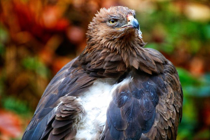 Schreiadler lesser spotted eagle Clanga pomarina Bird Focus On Foreground Bird Of Prey Animals In The Wild Animal Themes Perching Day Beak Animal Wildlife Close-up One Animal Lesser-spotted Eagle Nature Clanga Pomarina Bayerischer Wald Hawk - Bird Lesser Spotted Eagle Schreiadler Feather  Nature No People Outdoors
