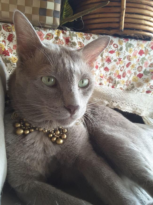 หล่อ ฮะเก๋า แมวไทยกลีบบัว Chiangrai