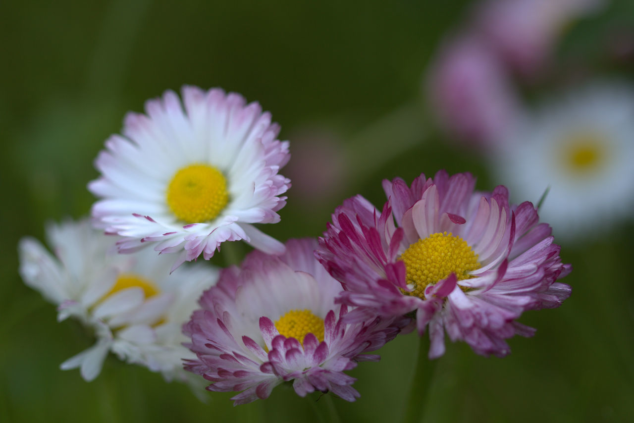 Beauty In Nature Blooming Close-up Daisy Flower Flower Head Flower Heads Focus On Foreground Fragility Freshness In Bloom Kwiaty Macro Macro Photography Marco Photography Petal Pollen Selective Focus Stokrotki łąka
