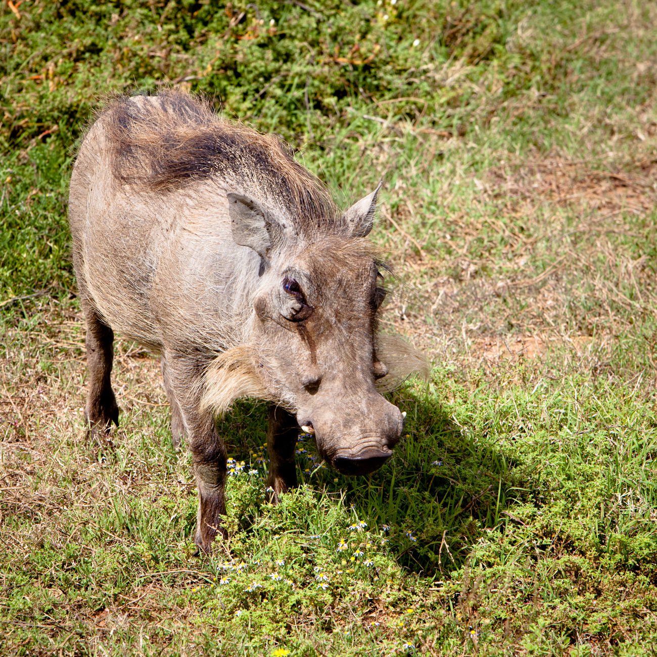 Warthog South Africa Animal Themes Animal Wildlife Animals In The Wild Close-up Day Eastern Cape Field Full Length Grass Mammal Nature No People One Animal Outdoors Pig Safari Safari Animals South Africa Standing Warthog