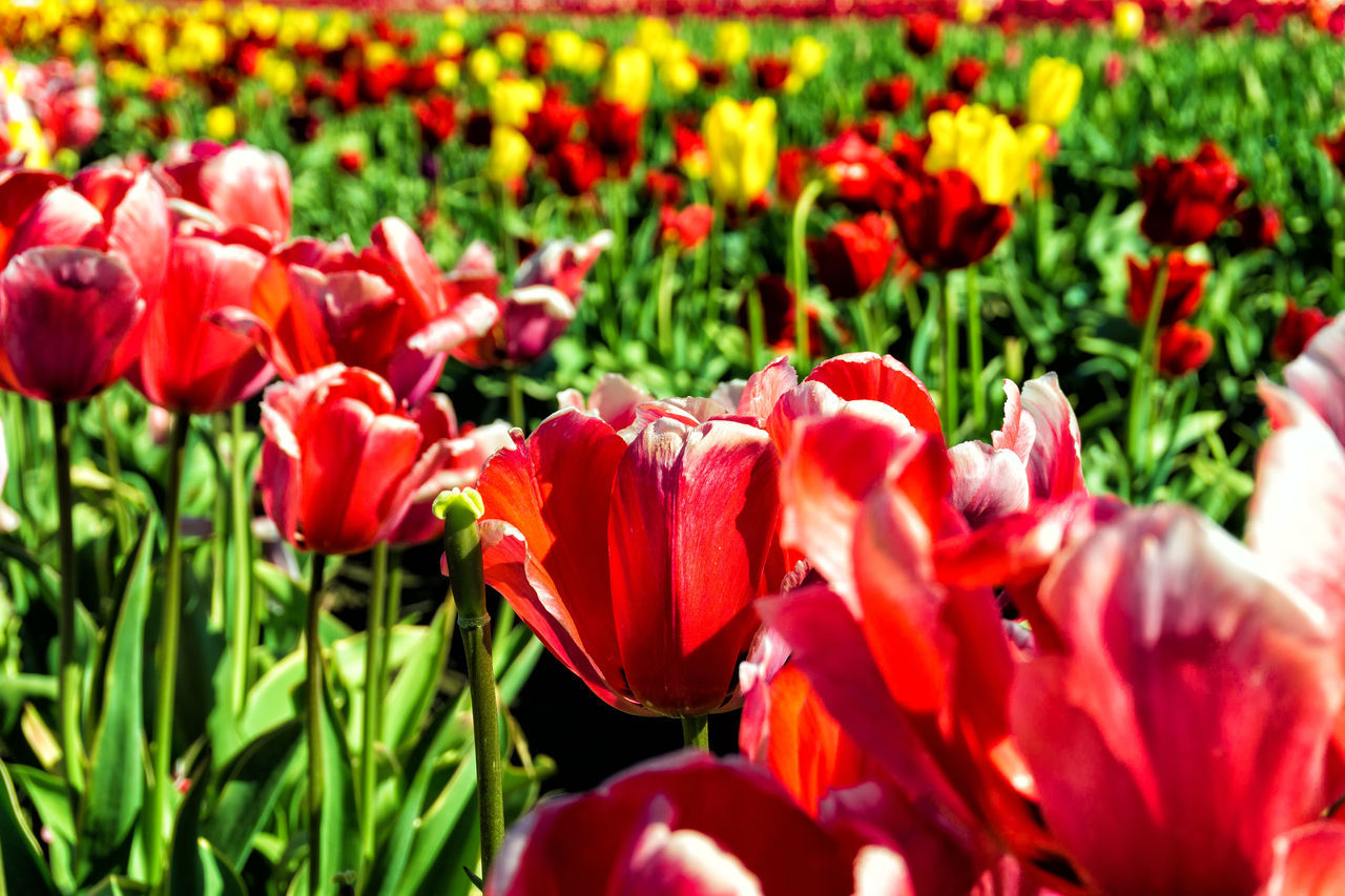 Closeup view of vibrant red Tulips in Woodburn, Oregon Agriculture Farm Field Fields Floral Flower Flower Head Flowers Fragility Freshness Growth Landscape Nature Oregon Outdoors Plant Poppy Rural Scenic Season  Springtime Tulip Tulips USA Woodburn