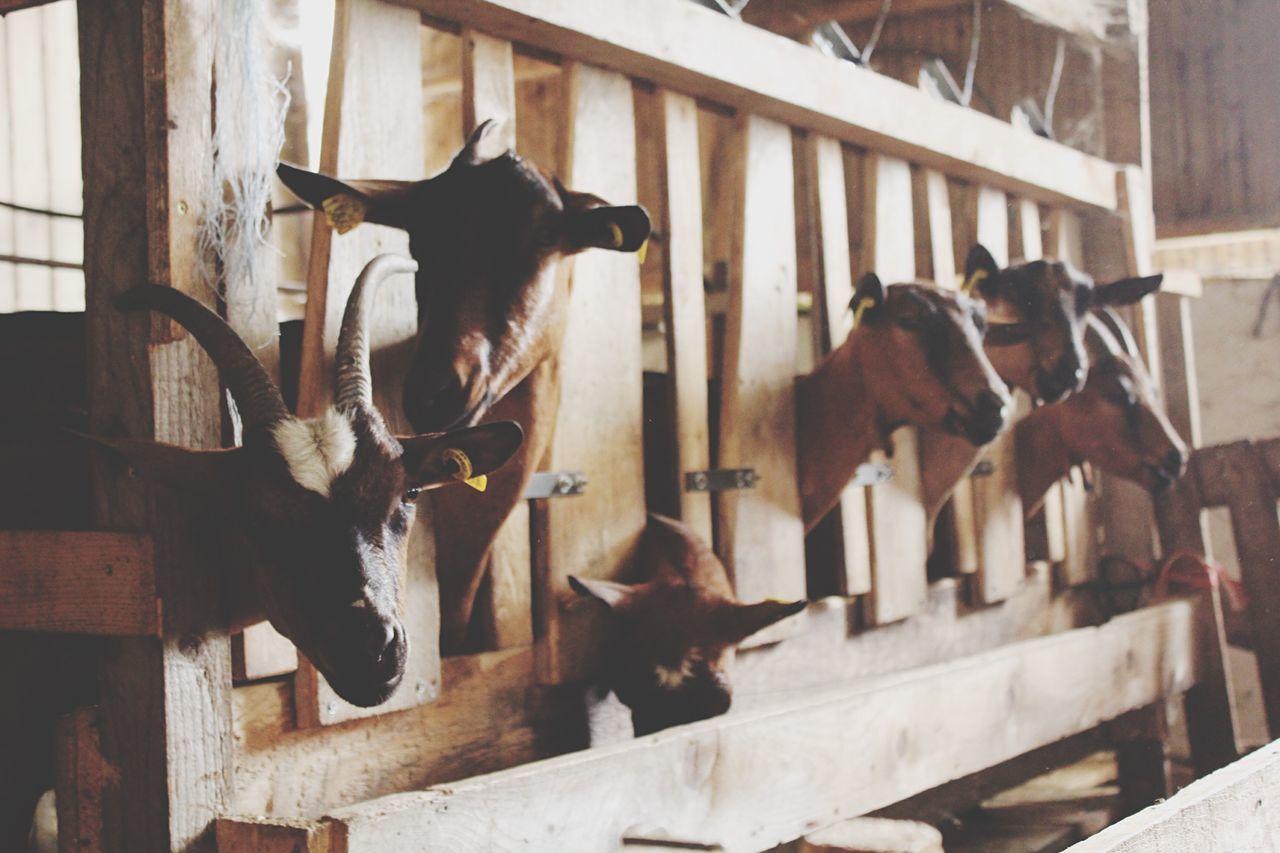 Beautiful stock photos of goat, Animal Themes, Day, Domestic Animals, Farm