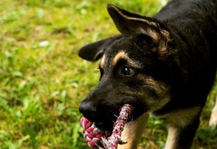 #puppy EyeEm Selects Dog Pets Domestic Animals One Animal Animal Themes German Shepherd No People Outdoors First Eyeem Photo