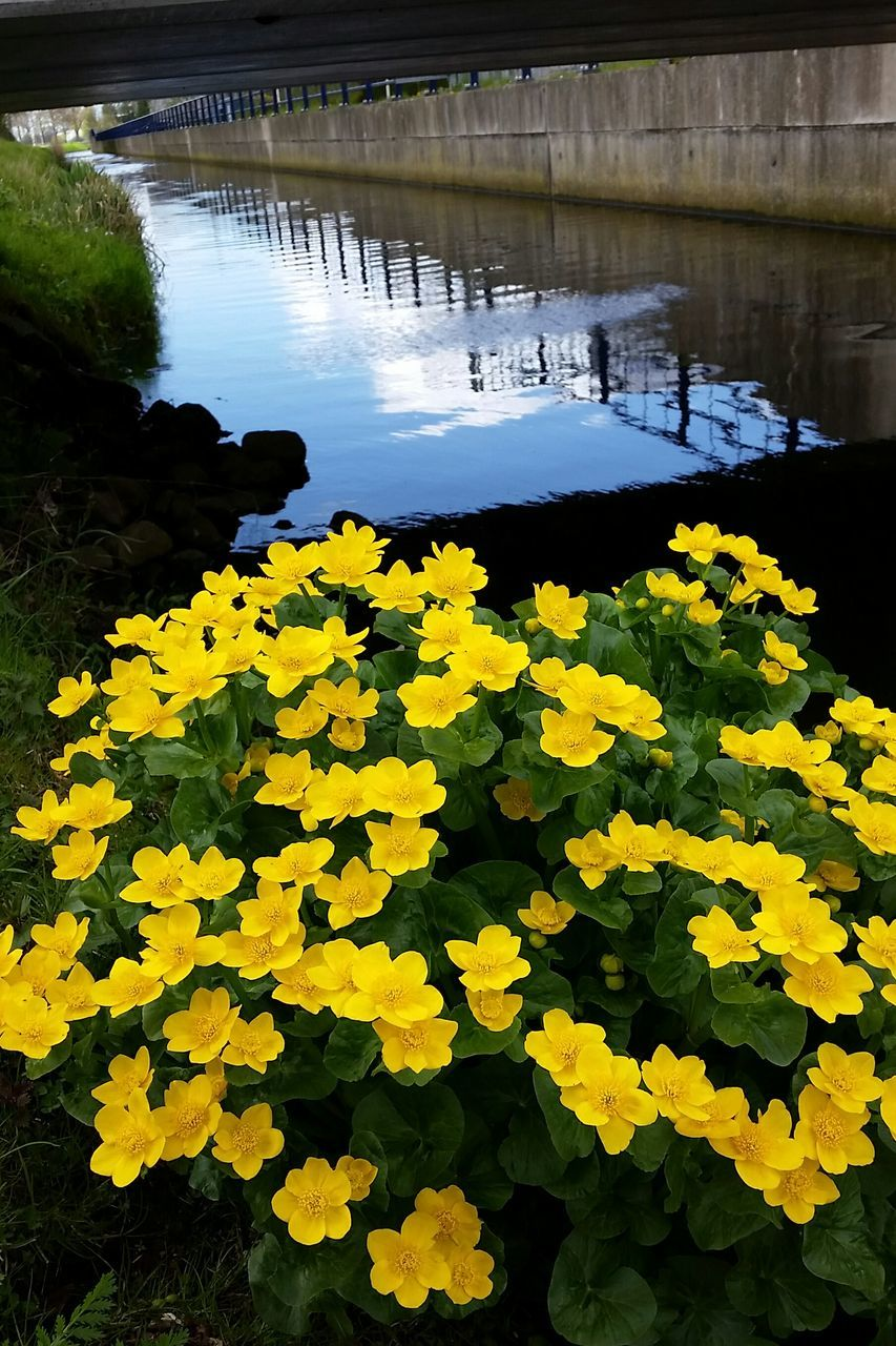 yellow, flower, water, nature, beauty in nature, lake, tranquility, growth, day, outdoors, plant, tranquil scene, no people, fragility, leaf, scenics, freshness