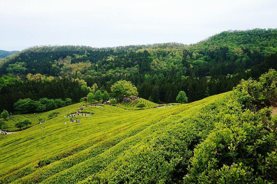 Boseong Greentea South Korea Spring
