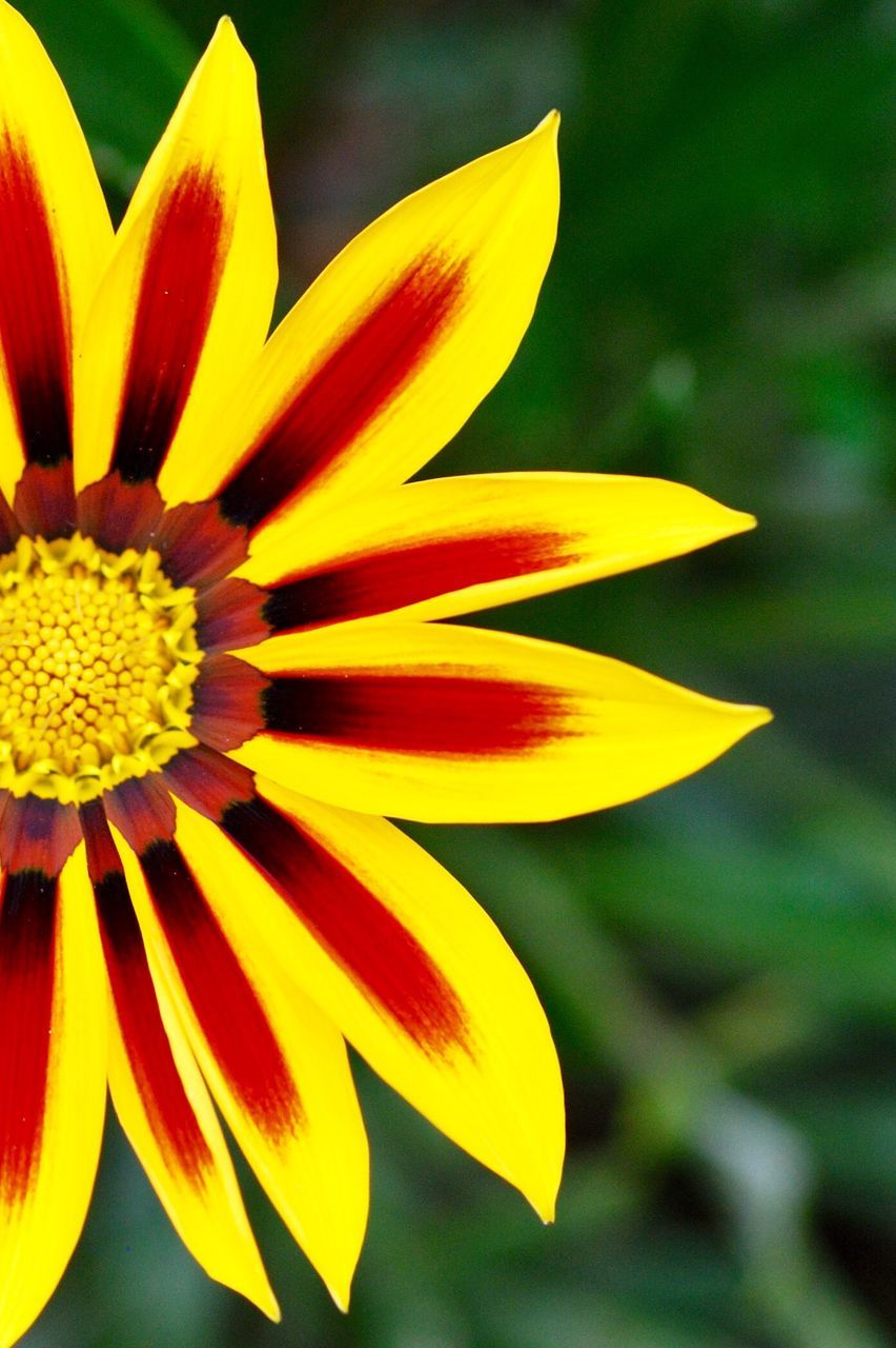 flower, petal, flower head, yellow, freshness, fragility, beauty in nature, nature, close-up, focus on foreground, growth, outdoors, day, gazania, blooming, no people
