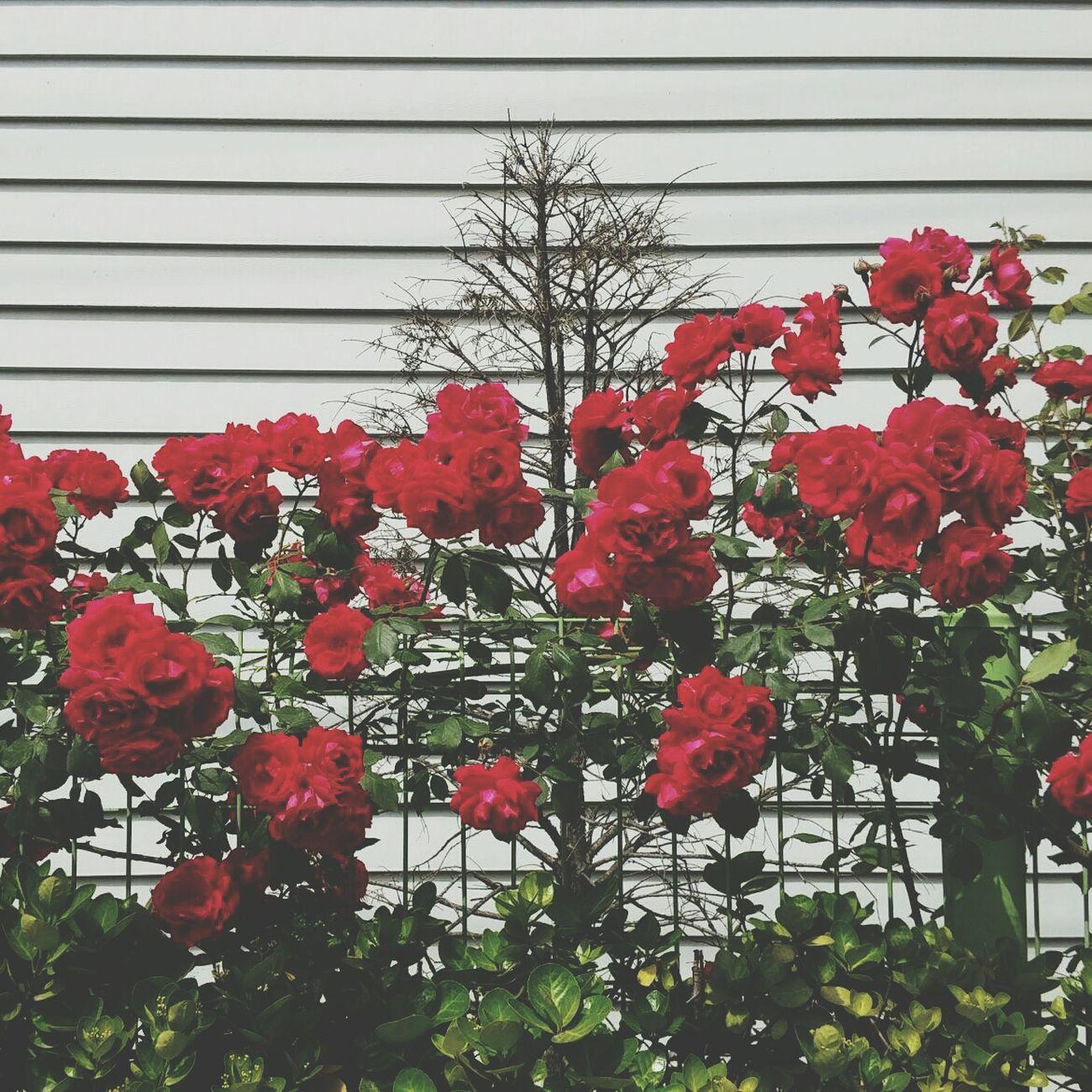 Pretty Rose  Red Roses 너무 예쁘다