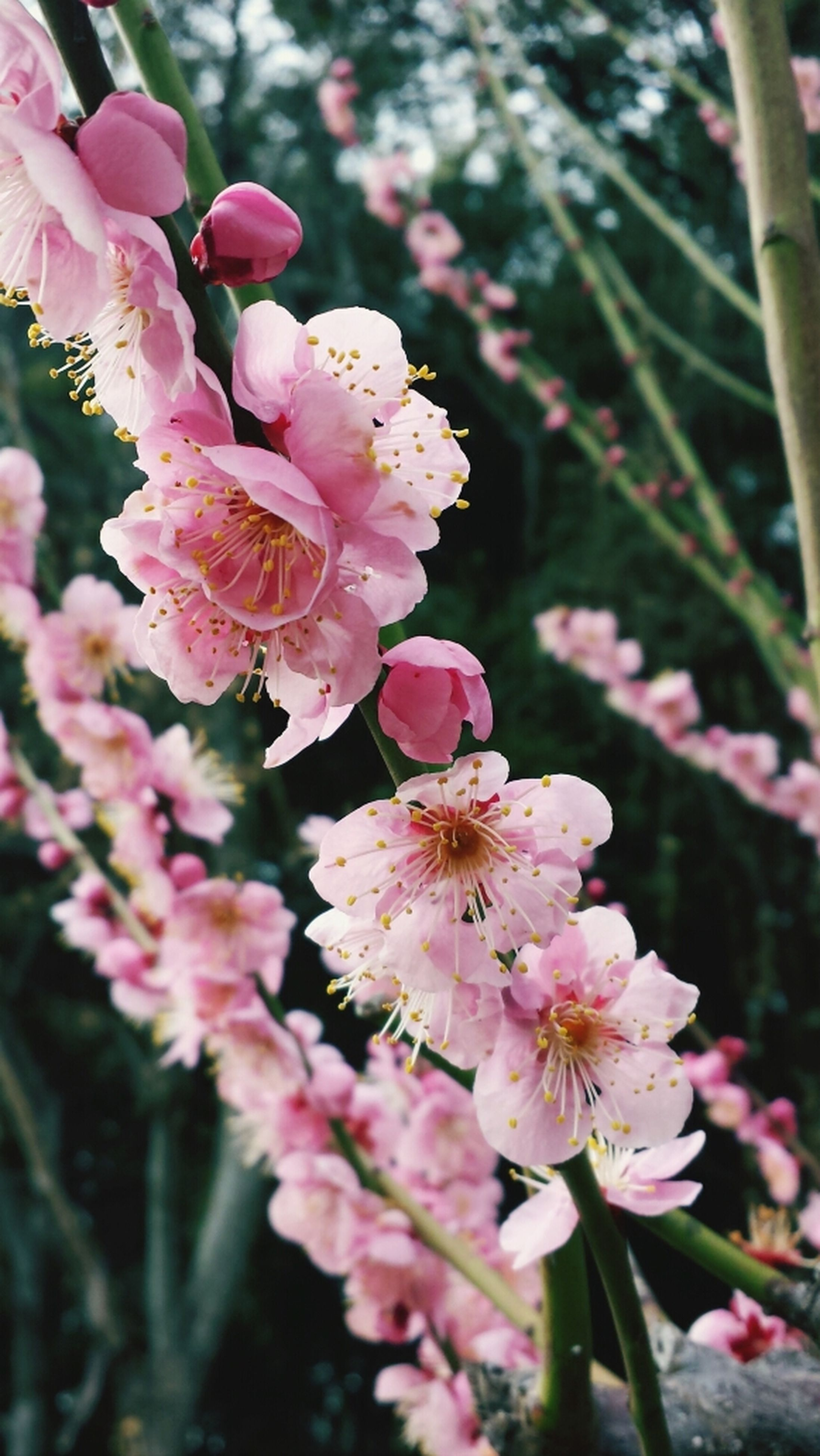 flower, freshness, fragility, growth, petal, beauty in nature, pink color, focus on foreground, close-up, nature, flower head, blooming, branch, blossom, in bloom, plant, springtime, twig, tree, outdoors
