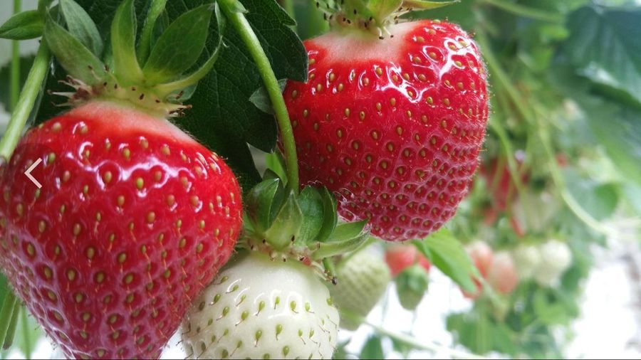 Strawberries ♡ Red Fruit Lovely Strawberry Healthy Eating Close-up Freshness Nature Food Beauty In Nature Plant Strawberry Garden 🍓🍓 🍓Erdbeeren🍓 Photography EyeEm Nature Lover ❤