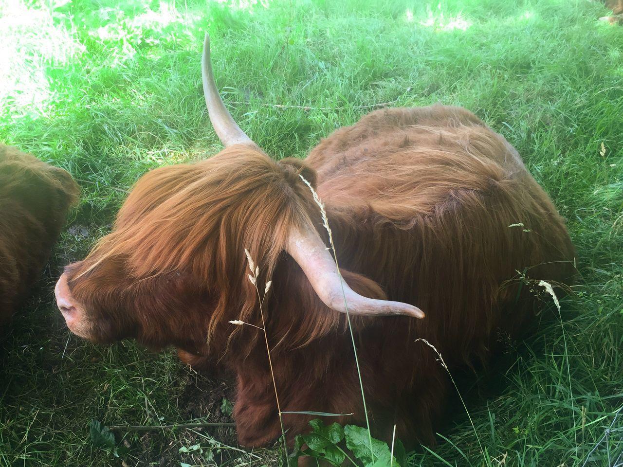Highland Cow Landscape Summer #summertime #sun #TagsForLikes.com #hot #sunny #warm #fun #beautiful #sky #clearskys #season #seasons #instagood #instasummer #photooftheday #nature #TFLers #clearsky #bluesky #vacationtime #weather #summerweather #sunshine #summertimeshine