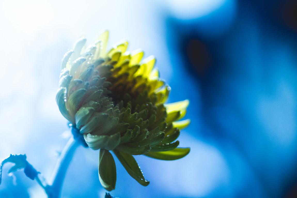 Chrysanthemum Yellow Light And Shadow Light Mysterious Fine Art Photography Flowers Hope Urban Gardening Getting Inspired Getting Creative Abstract Heaven Night Backlight Luminous Blue Macro Beauty The Week On Eyem Beautiful Nature Macro Wish Shades Of Blue Creative Light And Shadow Waterdrops