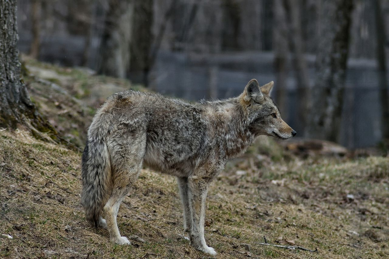 Beautiful stock photos of coyote, one animal, animal themes, mammal, animals in the wild