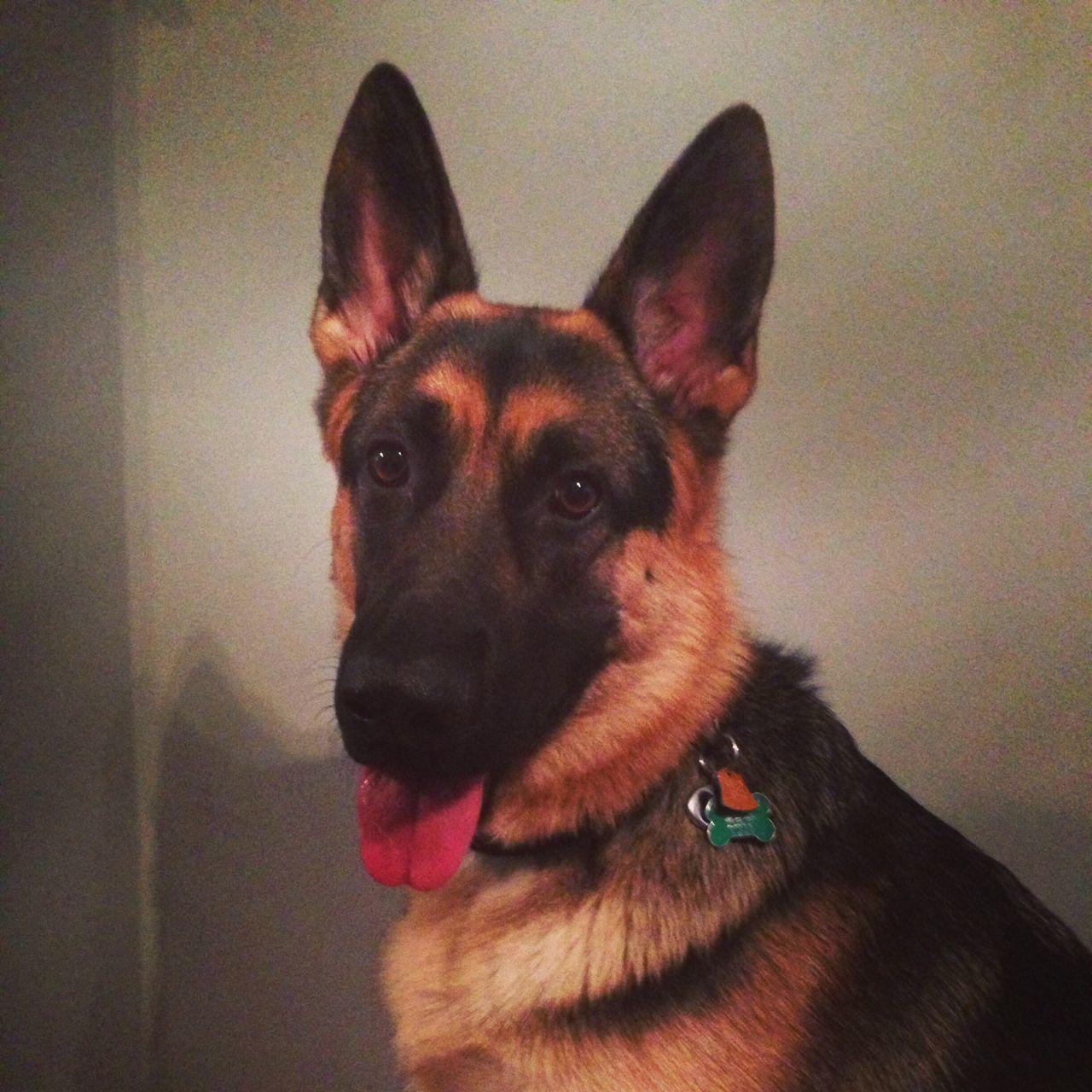 Selfie Beautiful I Love My Dog Best Friend German Shepherd Spoiled Dog