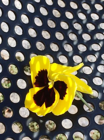 Natural Beauty. Yellow Flower Petal Vibrant Color Fragility Close-up Freshness Flower Head Day Multi Colored No People Outdoors Park Bench Perforation Shadow