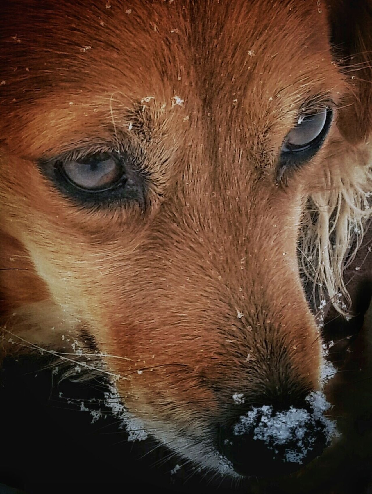 Animal Body Part Animal Eye Animal Nose AntiM Close-up Day Dog Dog And Snow Dog Close-up Dogs Nose Dogs Of EyeEm Dogs Portrait Domestic Animals Full Frame Mammal My Dogs Are Cooler Than Your Kids No People One Animal Outdoors Pets Portrait Snow Dog SweetSally Pet Portraits