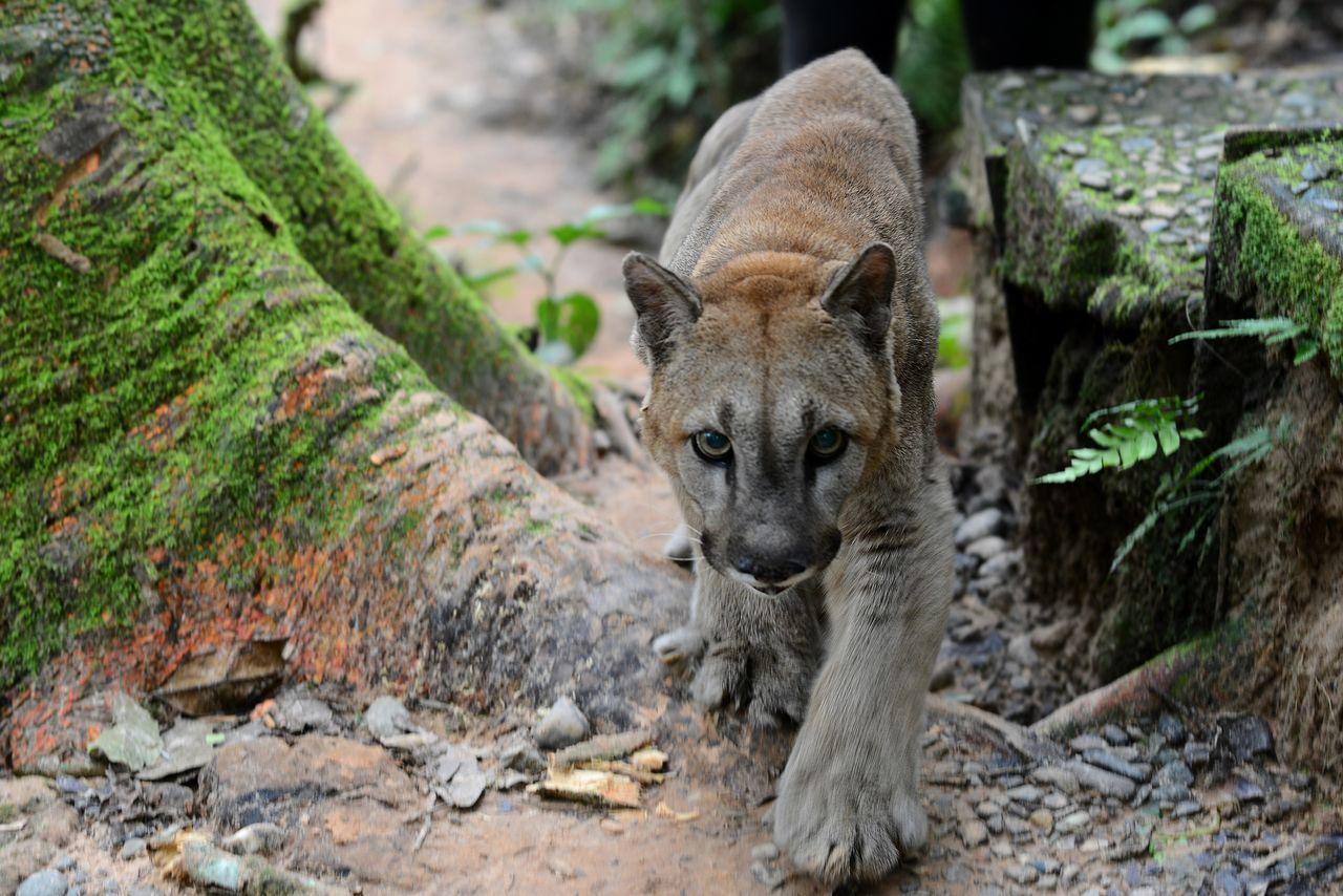 Animal Head  Animal Themes Animals In The Wild Big Cat Big Cats Jungle One Animal Puma Volunteering Wildlife