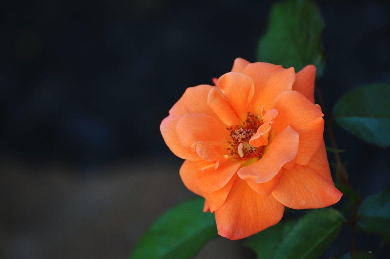 Flower Flower Head Beauty In Nature Orange Color Nature Close-up Freshness Petal Texaslife