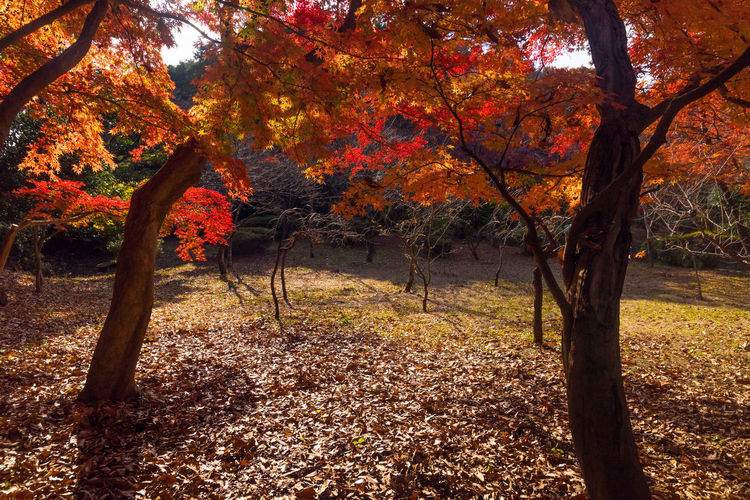 Autumn Leaves Beautiful Colored Leaves Healing Kamakura Amaging Autumn Backgrounds Beauty In Nature Branch Change Day Forest Growth Landscape Leaf Maple Nature Outdoors Photography Scenics Tranquil Scene Tranquility Tree Tree Trunk