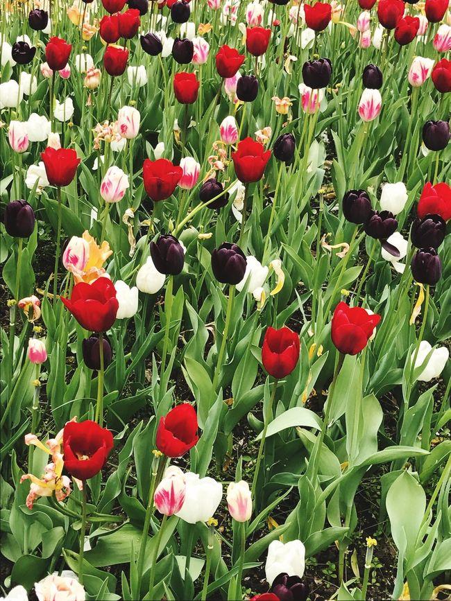 I colori dei tulipani mettono fortuna che ci sono qui a Bruxelles visto le giornate di pioggia.