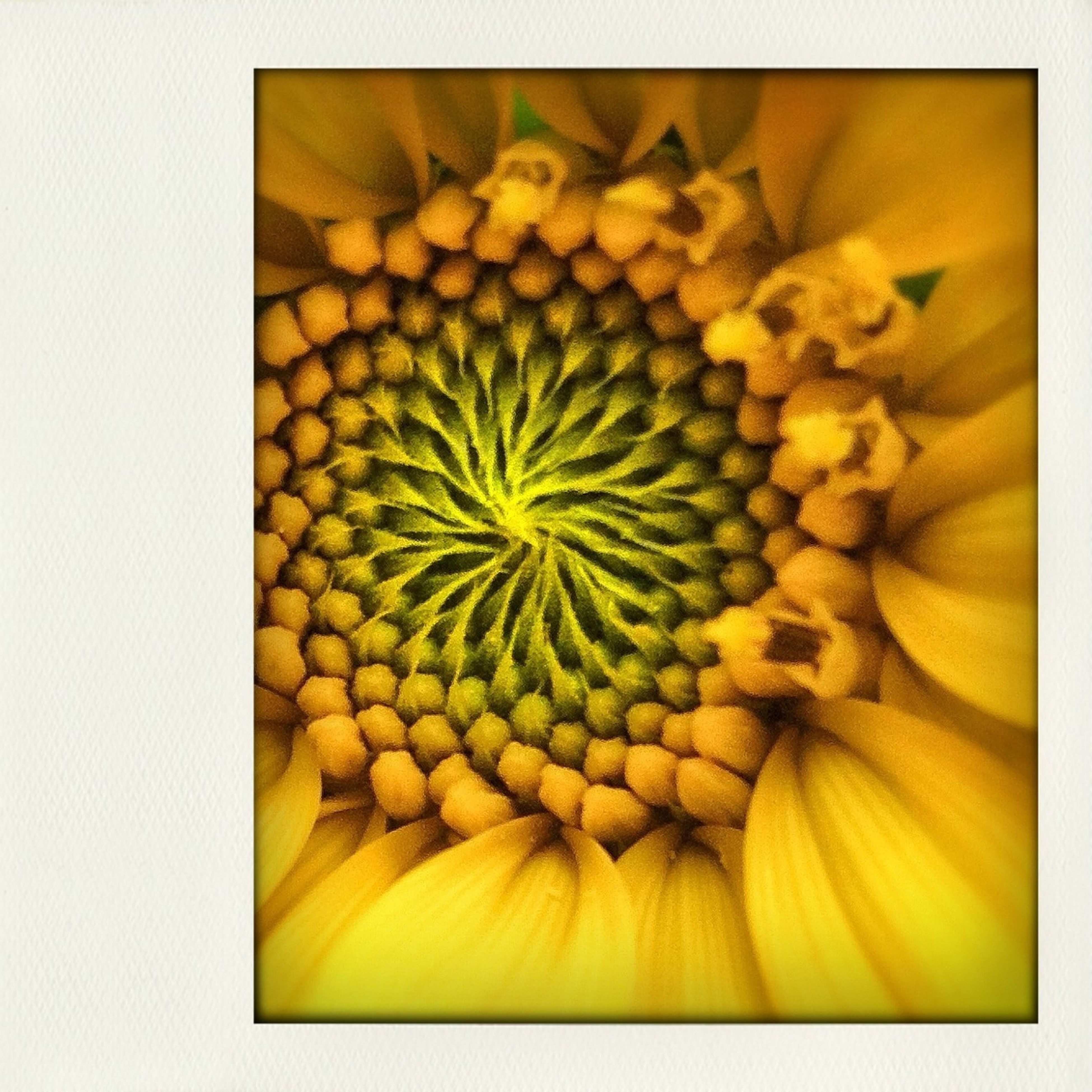 freshness, yellow, flower, flower head, transfer print, close-up, fragility, studio shot, beauty in nature, petal, growth, auto post production filter, nature, healthy eating, full frame, food and drink, single flower, sunflower, backgrounds, white background