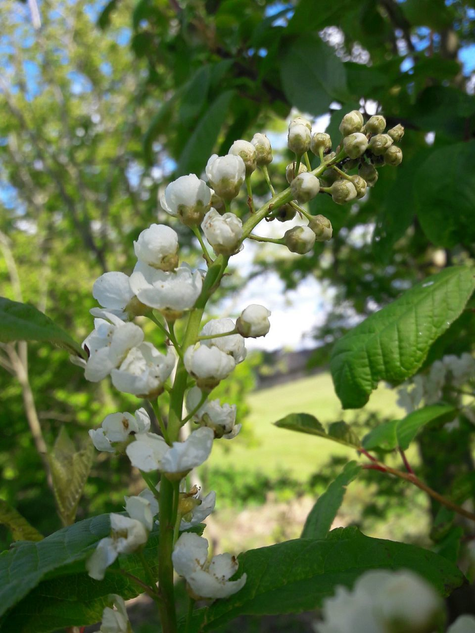 growth, nature, flower, beauty in nature, fragility, tree, white color, blossom, freshness, no people, day, plant, green color, petal, close-up, branch, springtime, outdoors, leaf, blooming, flower head