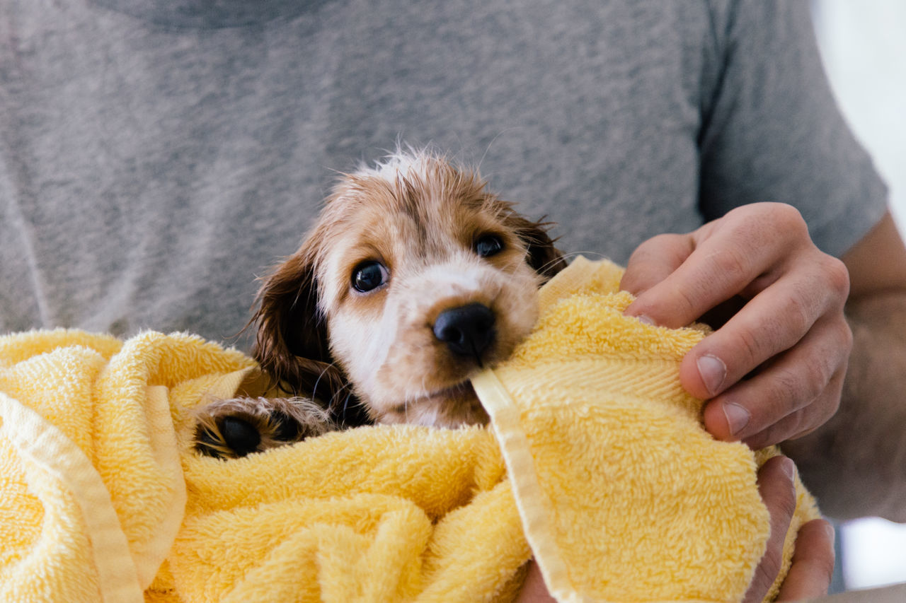 Beautiful stock photos of puppy, Animal Themes, Canine, Domestic Animals, Drying