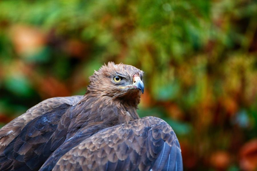 Schreiadler, lesser spotted eagle, Clanga pomarina Bird Bird Of Prey Animals In The Wild One Animal Animal Themes Animal Wildlife Focus On Foreground Day Nature Hawk - Bird No People Close-up Outdoors Beak Perching Lesser Spotted Eagle Lesser-spotted Eagle Schreiadler Nature Clanga Pomarina