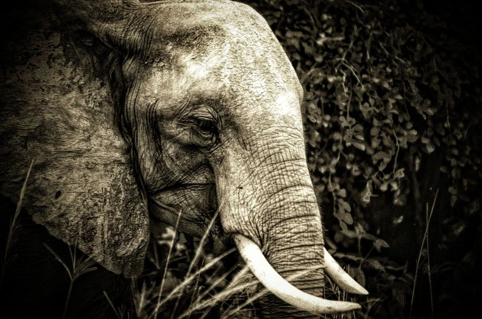 "A beautiful elephant found in South Luangwa National Park. This majestic beast is my favourite animal. But illegal poaching has decimated their numbers. If you want to learn more I highly recommend watching ""The Ivory Game"" on netflex. Animals In The Wild Elephant Close-up No People Nature Outdoors Animal Themes One Animal Nikon D7000 Traveldiaries National Park South Luangwa Taveler African Elephants Endangered Species Poaching Blackandwhite Netflix Nikonphotography EyeEmNewHerer Travel Destinations Nature Nature Photography EyeEmNewHere Beauty In Nature"