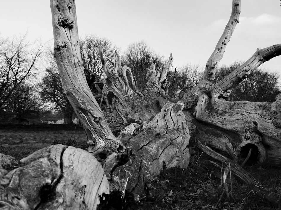 Resplendent in Decline 02. This amazing tree is to be found on the Blickling estate, Norfolk. I went in search of a mausoleum ( will post later) and came across this reclining Beech. Olympus Pen F with 25mm f1.2. Edit in Capture One pro. Bare Tree Beauty Of Decay Black & White Contrast Creative Light And Shadow Day Dead Tree EyeEm Gallery EyeEm Nature Lover From My Point Of View Landscape Light And Shadow Monochrome Photography Nature No People Outdoors Pattern, Texture, Shape And Form Sky Textures And Surfaces Tree Tree Trunk Wood - Material