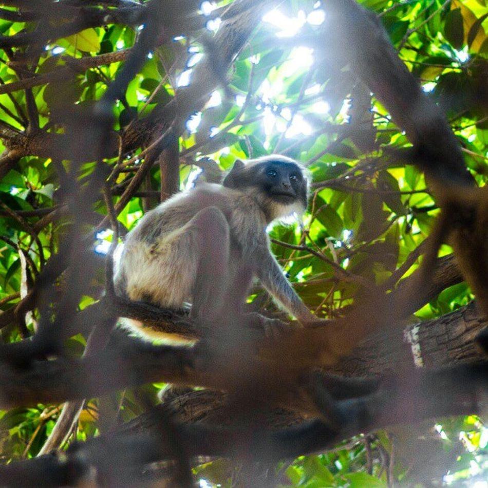 India 2012-2013. Meet my Friday monkey friend. What a gorgeous monkey. Look at those eyes. Lightroom4 Nature Wildlife Wonders Beautiful SubhanAllah Wildlifephotography Newobsession Exoticanimals Indiaadventures Gujarat IGDaily Ighood Mydailyinstagram Myinstamoments Instagujarat Chaibuddy Interestingibservations Canonlover Canon7d  AGphotography Pictureoftheday Followme