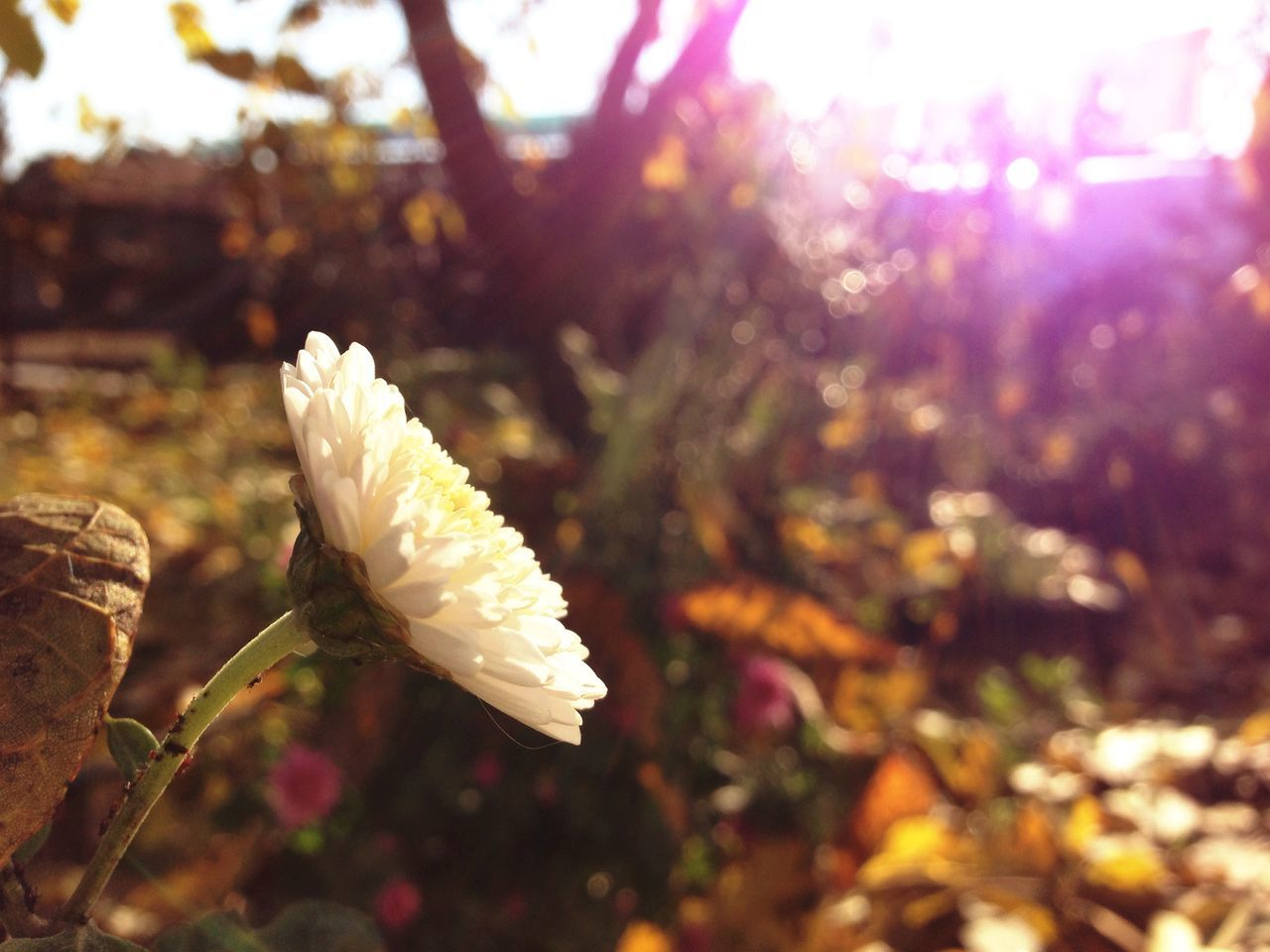 flower, nature, beauty in nature, white color, petal, fragility, growth, freshness, focus on foreground, no people, outdoors, day, plant, close-up, flower head, blooming, tree