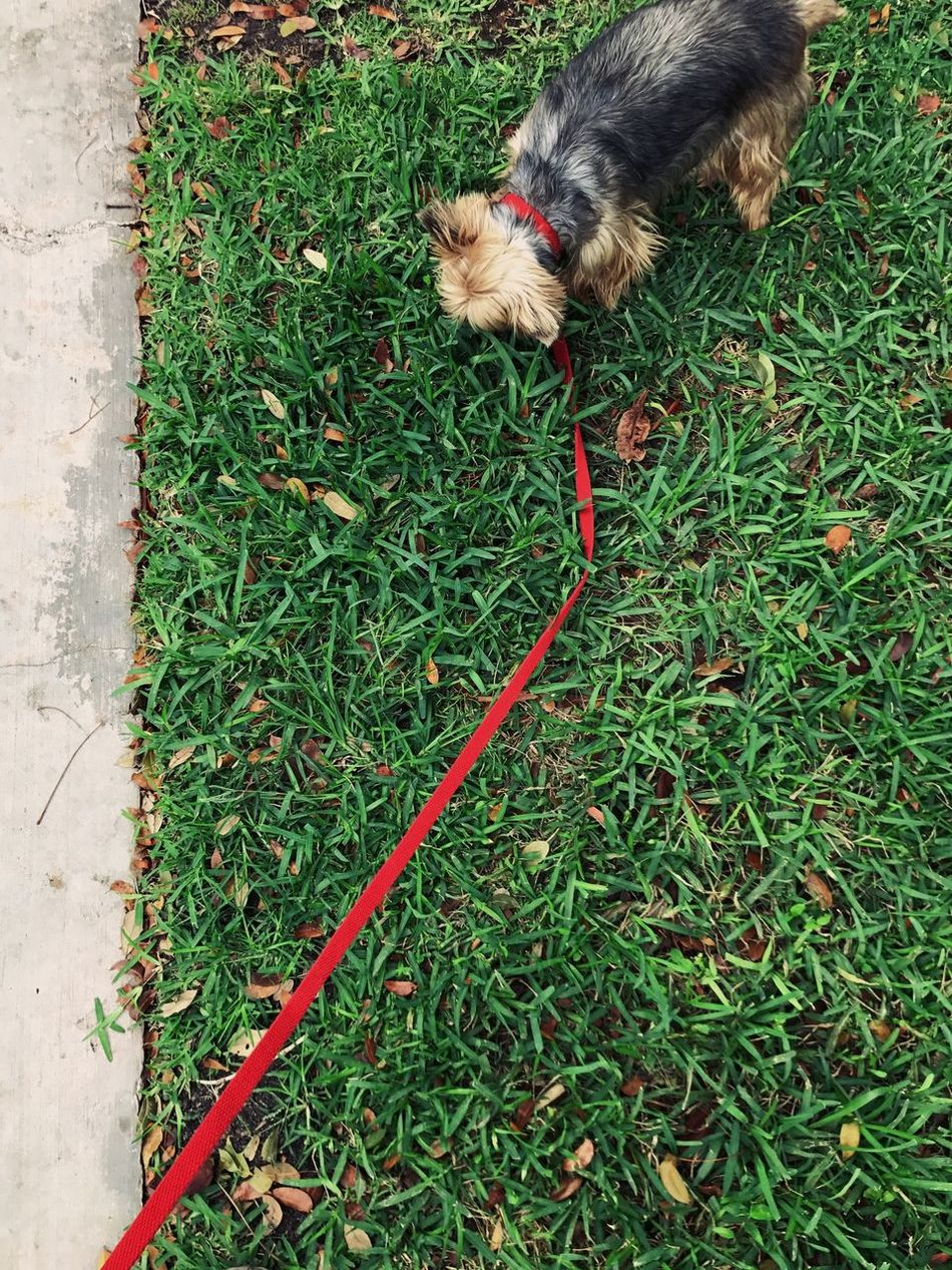 Pets High Angle View Animal Themes One Animal Domestic Animals Dog Grass Mammal Outdoors Day Green Color No People Nature Oatmeal Dog Puppy Yorkie Walking Dog Home