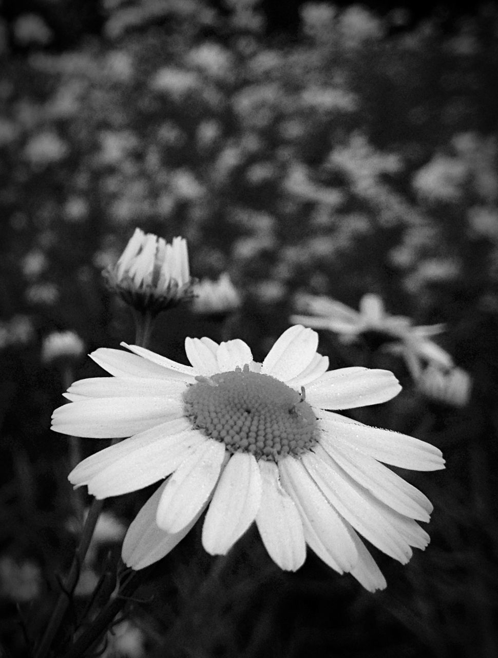 flower, petal, fragility, flower head, growth, nature, blooming, freshness, beauty in nature, focus on foreground, plant, day, close-up, outdoors, no people, osteospermum