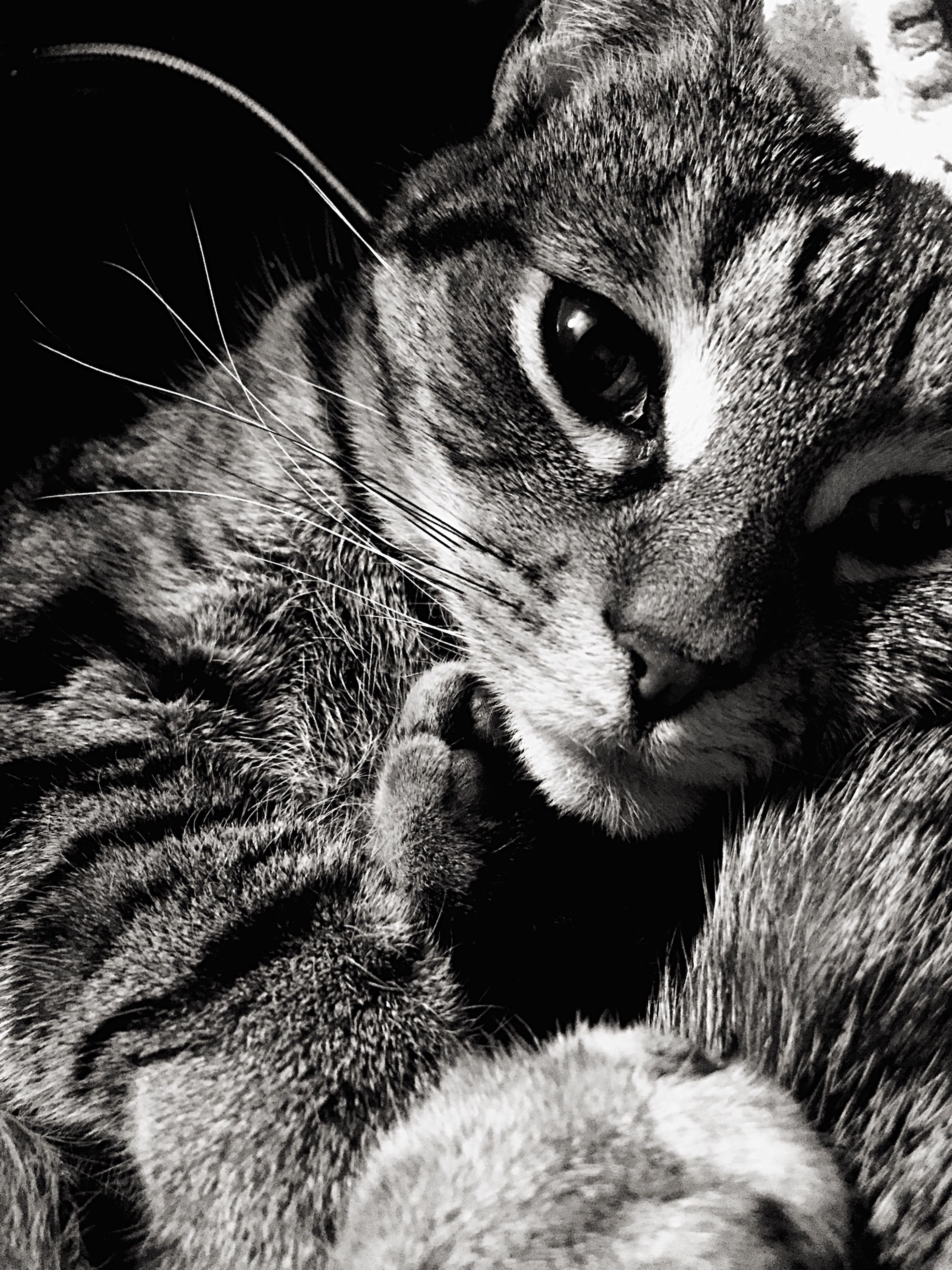animal themes, pets, one animal, mammal, domestic animals, domestic cat, feline, whisker, cat, close-up, animal head, relaxation, looking away, indoors, animal body part, focus on foreground, portrait, resting, snout, animal
