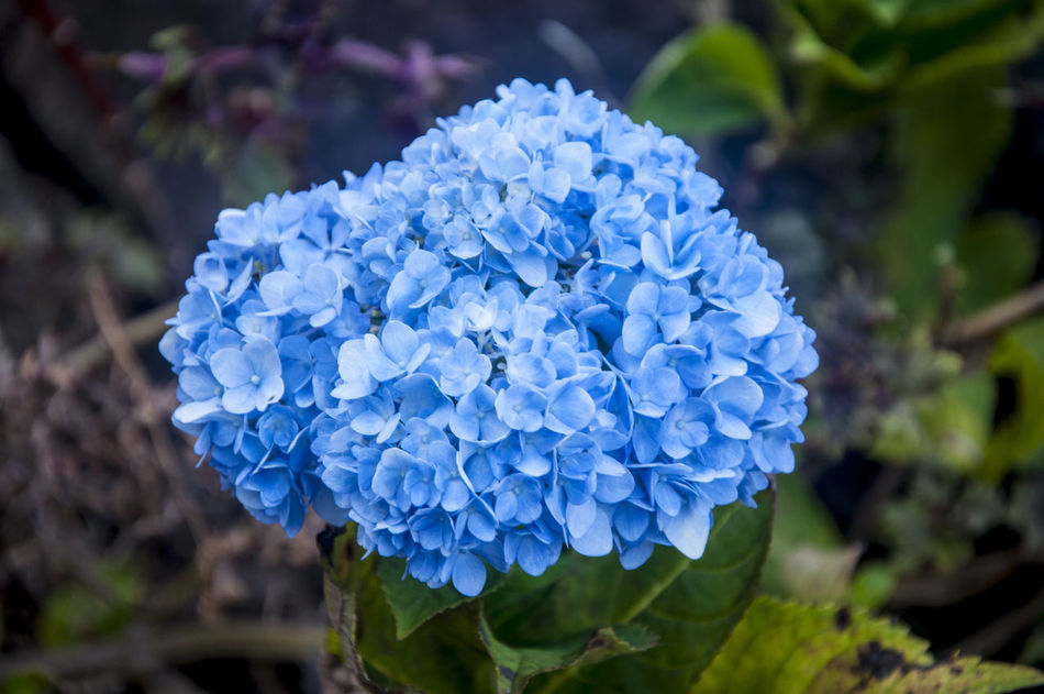 """Blue Hydrangea Flowers also known as """"Hundred Flowers"""" Beauty In Nature Blue Flower Freshness Hundred Flowers Hydrangea Nature Photography Philippines Purple"""