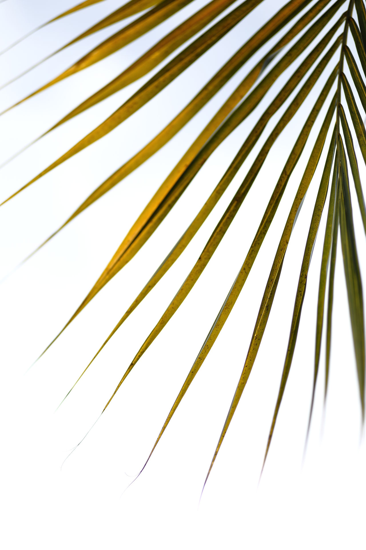 Nature details palm tree leaves Palm Leaf Palm Tree No People Nature Backgrounds Details Of Nature Corner Outdoors Beauty In Nature Leaves Season  Summer Green Color Yellowish Green Linear Lines, Shapes And Curves Lines And Patterns Pattern, Texture, Shape And Form Patterns In Nature Design Nature Lineart Exotic