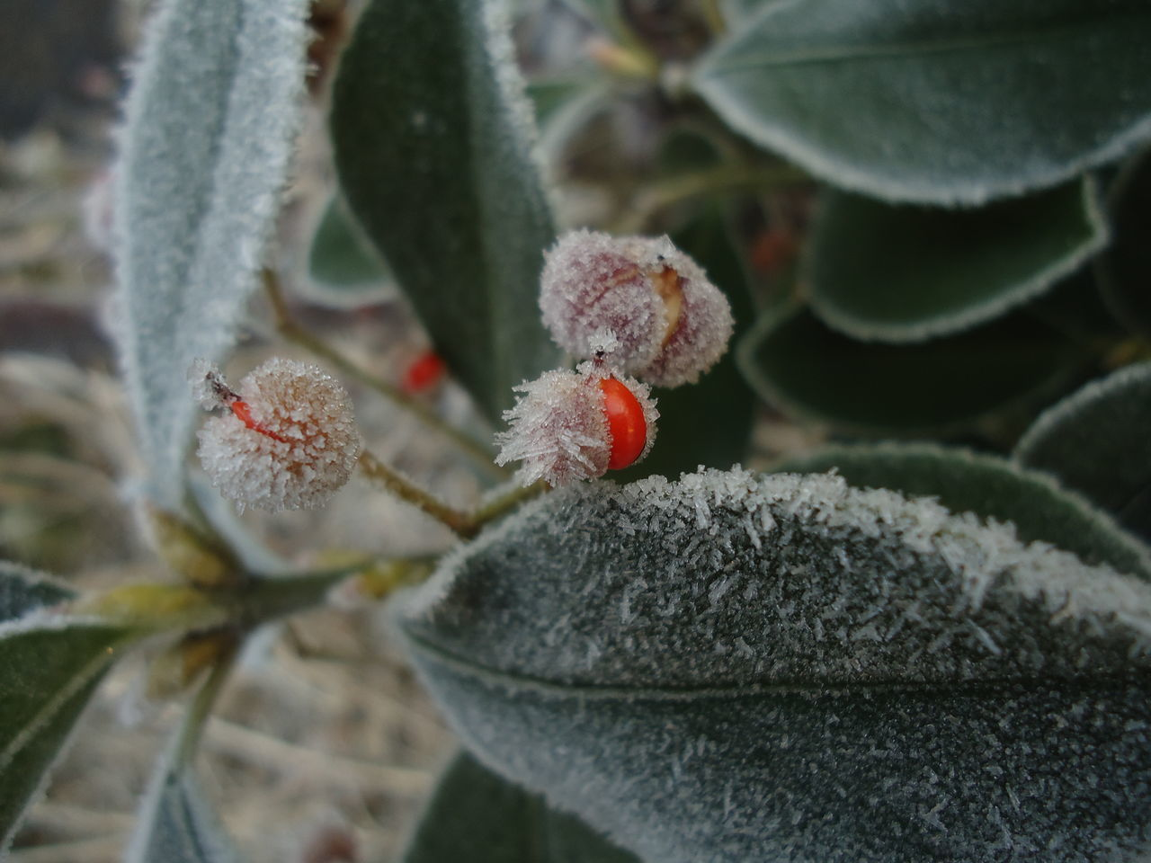 Beauty In Nature Close-up Cold Temperature Day Freshness Growth Nature No People Outdoors Plant Srinagar Kashmir Winter