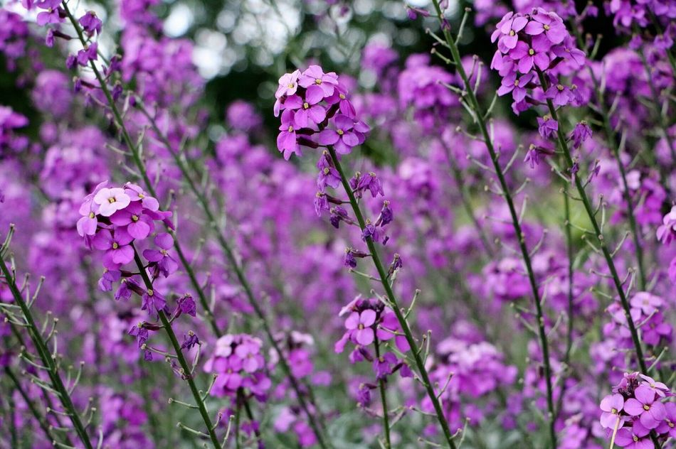Flower Nature Freshness Growth Beauty In Nature Purple Fragility Plant Blooming Petal Day No People Close-up Outdoors Flower Head Lilac EyeEmNewHere United Kingdom Travel Nature Beauty In Nature Plant Millennial Pink