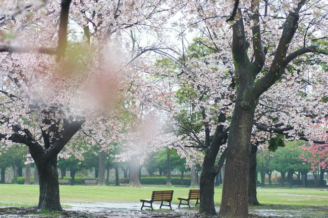 Down to the park in the rain. Taking Pictures In The Rain is so much fun! Sakura Cherry Trees In Bloom Spring In Japan