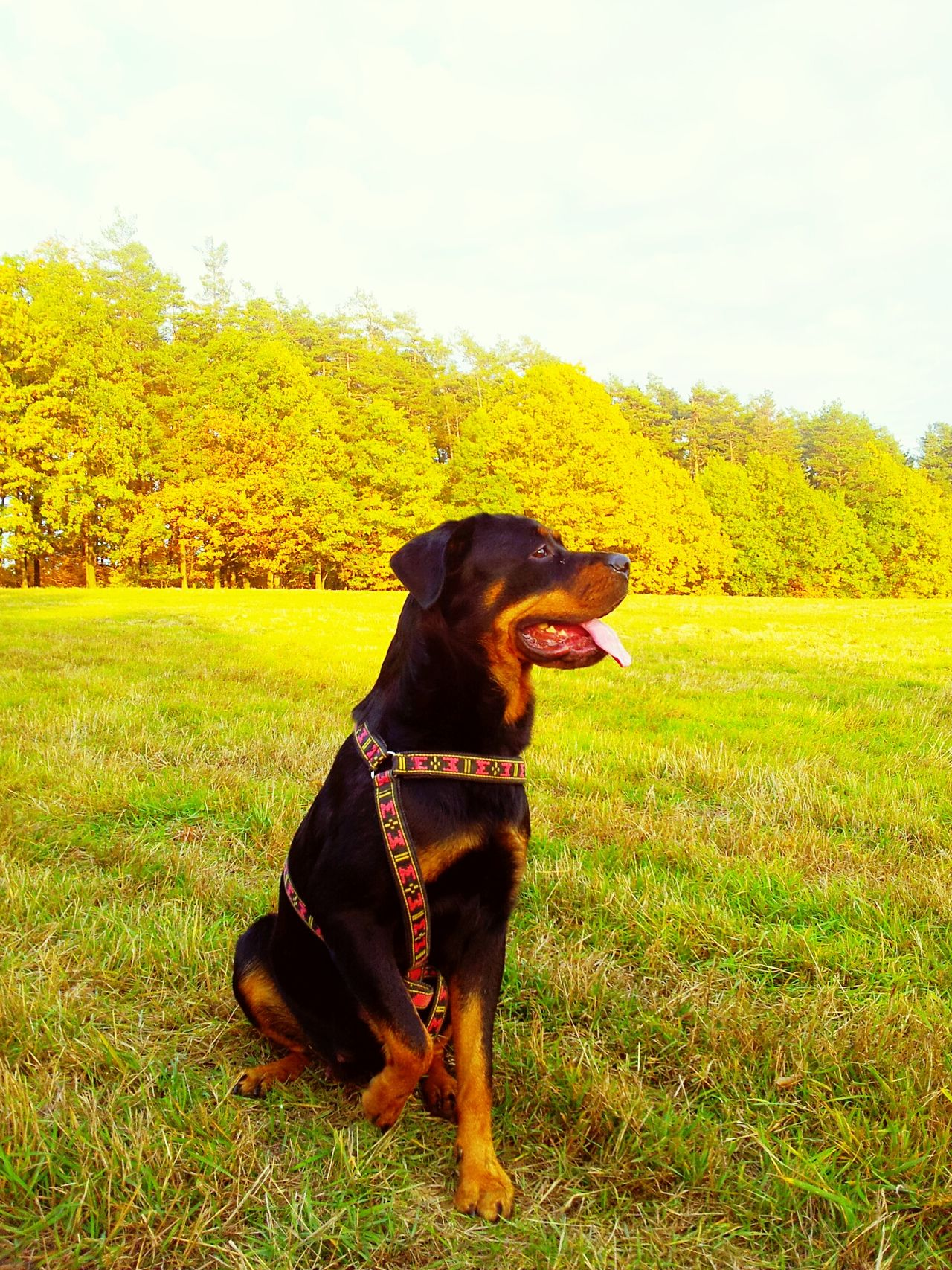 Check This Out Hello World Rottweiler Dog❤ Rottweilerlove RottweilerLovers { My Lovely RottWeiler } Princess ♥
