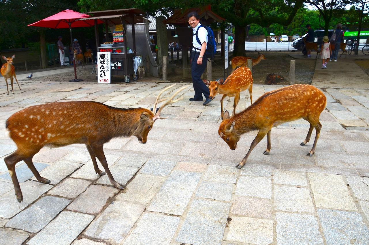 Against Each Other Deer Deer Fighting Deer Moments Deer Playing Deer World Laughing Opposition The Following Nara Park Osaka,Japan Feel The Journey Original Experiences The Ultimate Japan