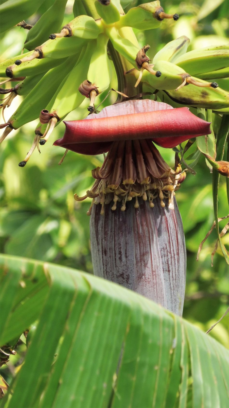 Banana Flower Beauty In Nature Green Bananas Guadeloupe Leaf Nature No People Tree Food And Drink Lumix