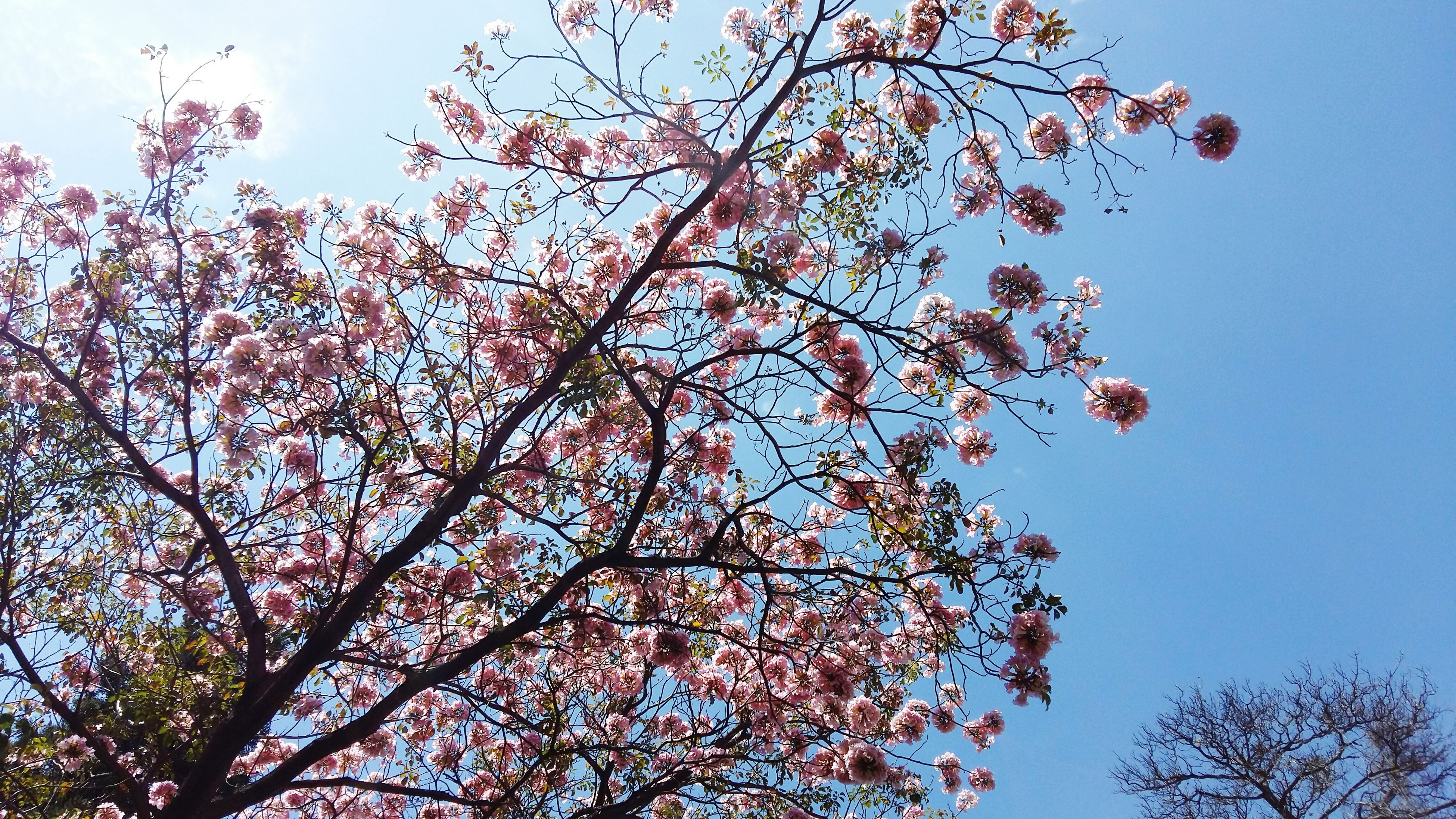 low angle view, tree, branch, clear sky, growth, flower, freshness, beauty in nature, nature, blue, sky, pink color, cherry tree, high section, blossom, outdoors, day, fragility, no people, treetop