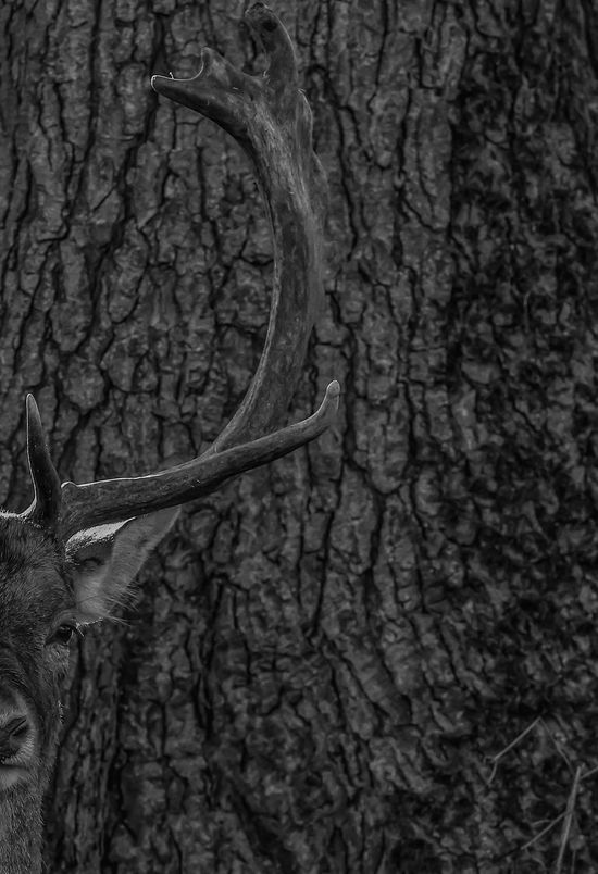 Tree One Animal Nature Animal Themes No People Close-up Textured  Animals In The Wild Outdoors Wildlife Wild Nature Water Beauty In Nature Mammal Natgeowild Nature Animal Wildlife Animals In The Wild Living Organism Natgeo Antler Portrait Fallow Deers Stag
