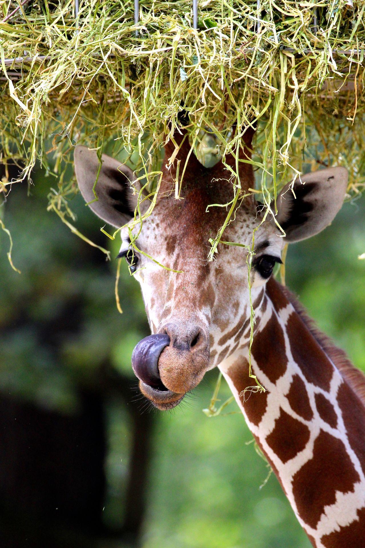 Beautiful stock photos of giraffe, Animal Markings, Animal Themes, Animal Tongue, Animal Wildlife